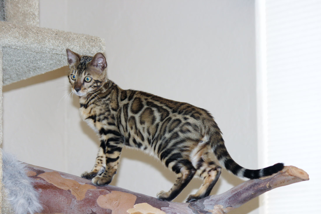 Bengal cats and kittens for sale