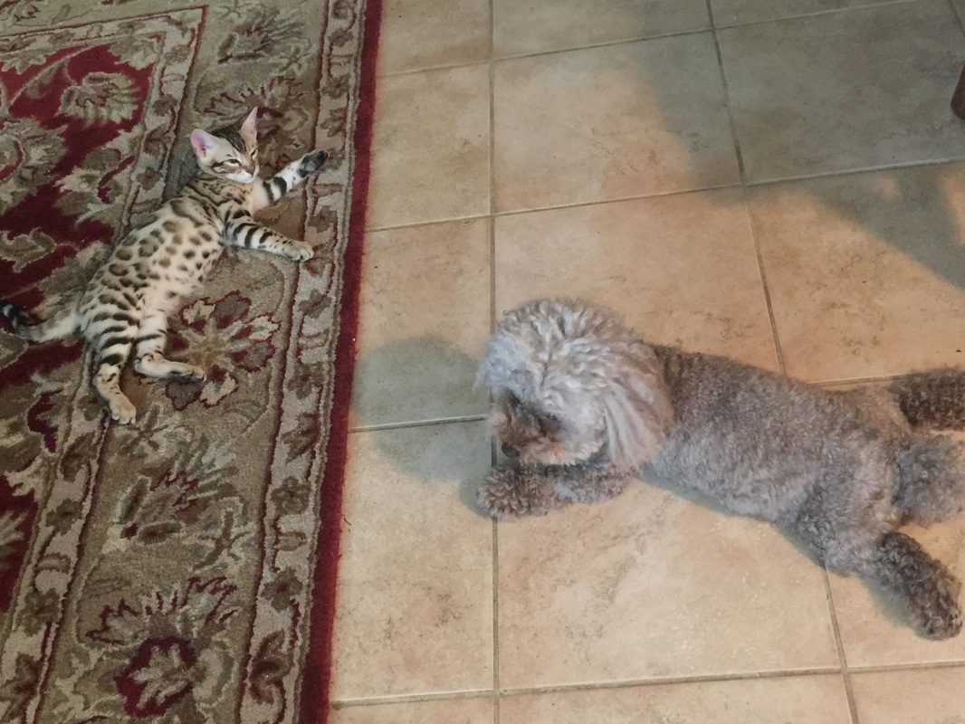 San Diego Bengal cat breeder for sale