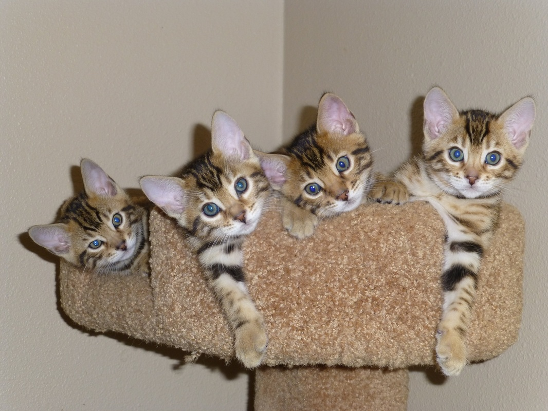 Bengal kittens for sale San Diego San Diego Bengal Black Mtn