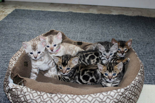 san diego bengal cats and kittens